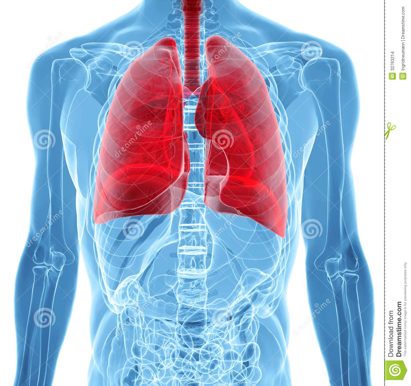 Anatomy Of Human Lungs In X Ray View Stock Illustration