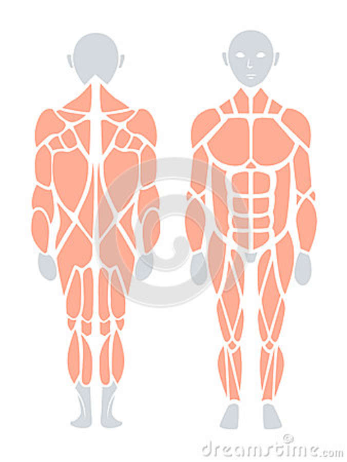 Anatomy Of Human Muscle In Back And Front, Vector Infographic E ...