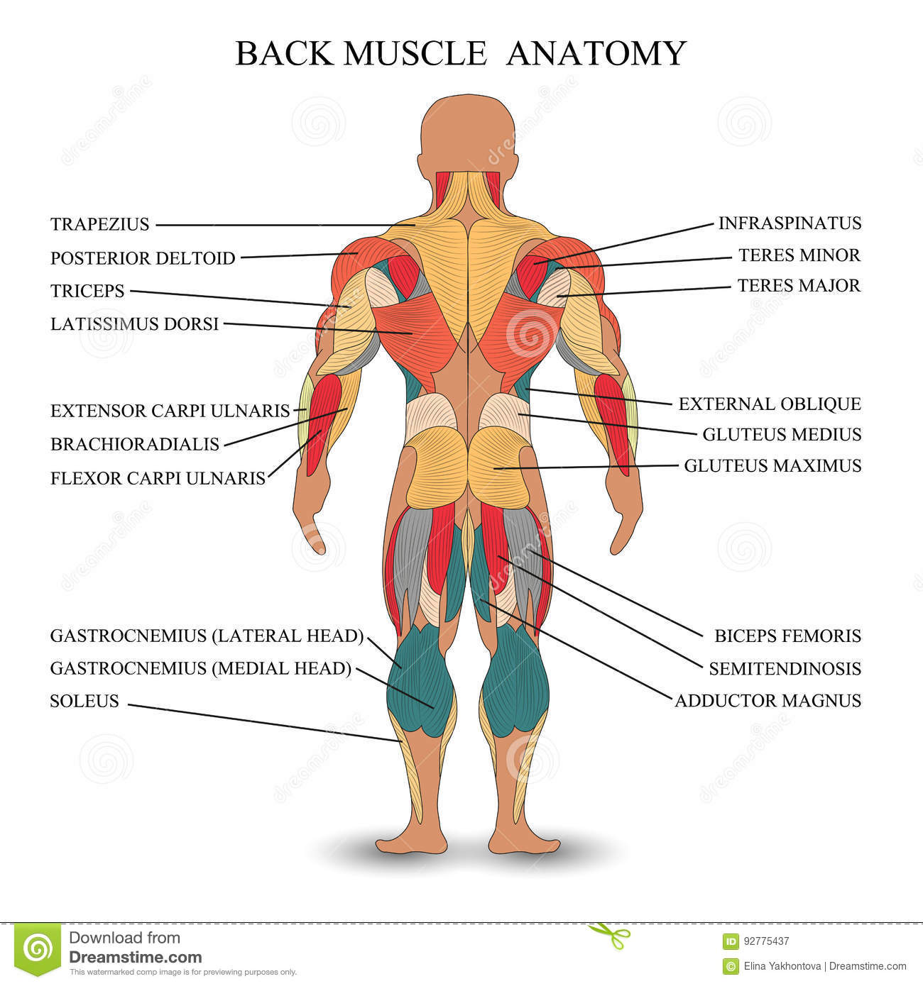 Anatomy Of Human Muscles In The Back A Template For Medical