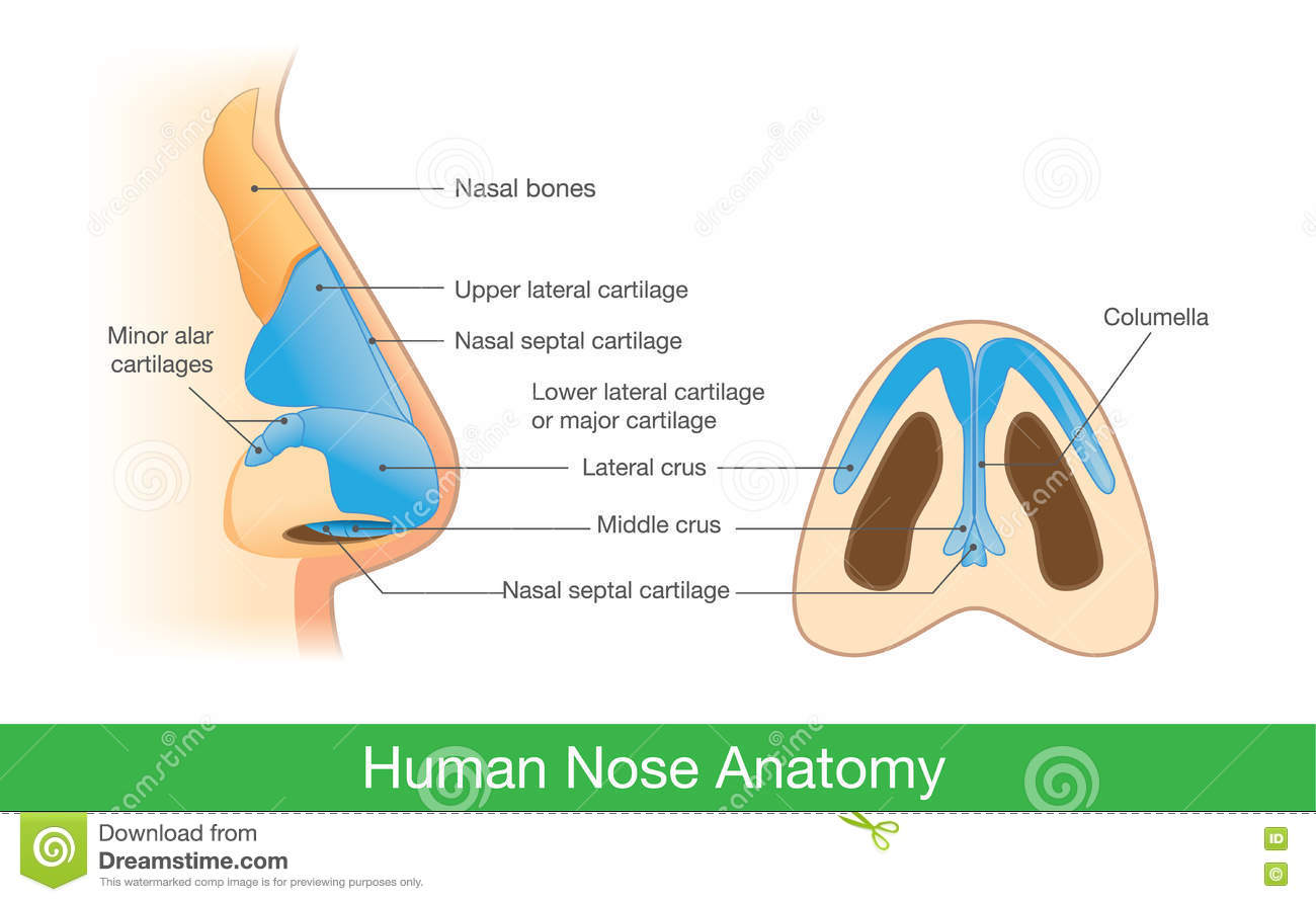 Anatomy Of Human Nose Stock Vector Illustration Of Illustration