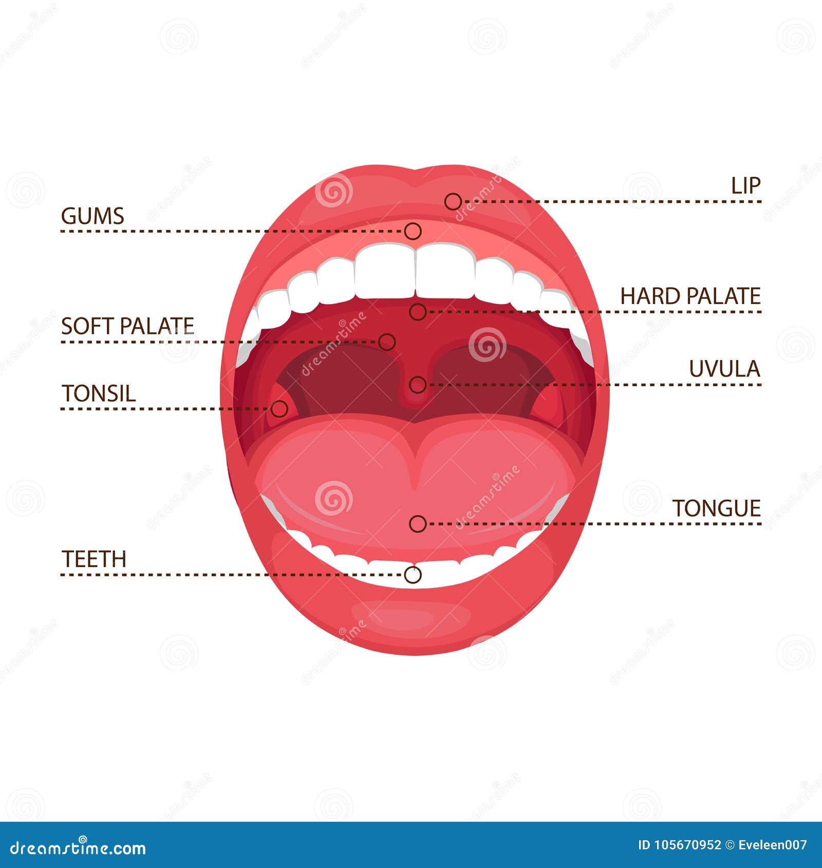 Anatomy Human Open Mouth  Medical Diagram Stock Vector