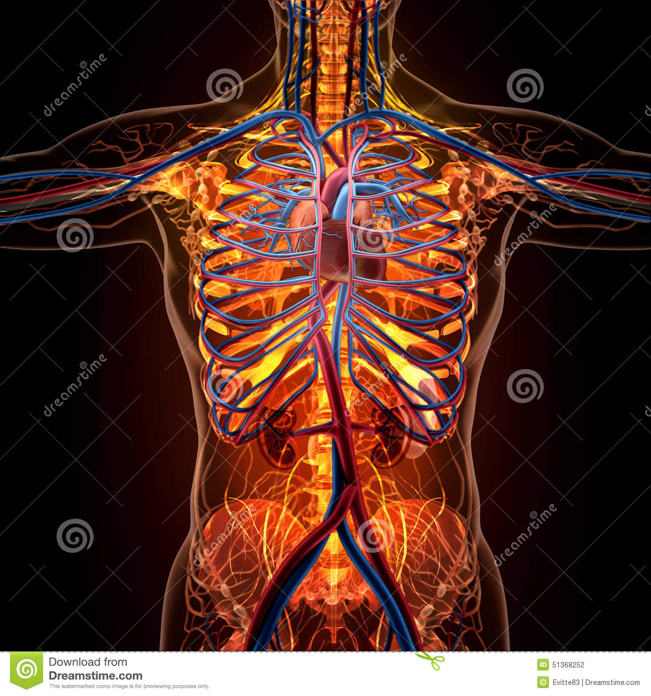 Anatomy Of Human Organs In X-ray View Stock Illustration ...