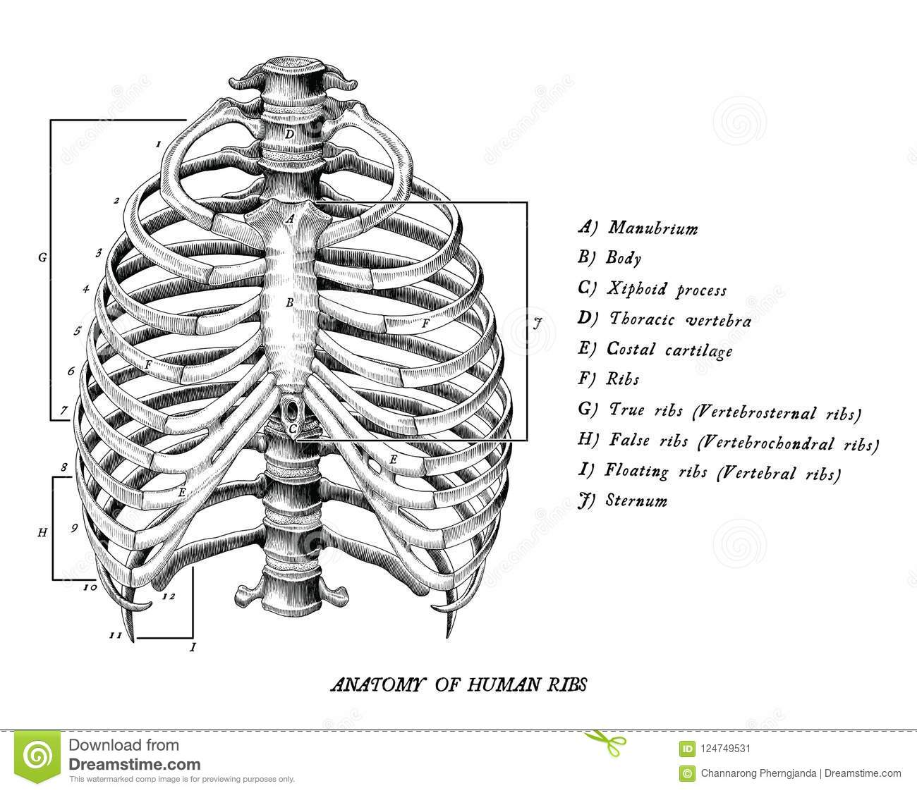 Anatomy Of Human Ribs Hand Draw Vintage Clip Art Isolated On Whi ...