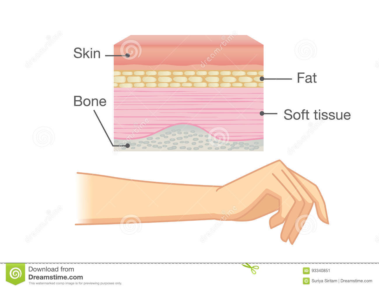 The anatomy of the skin