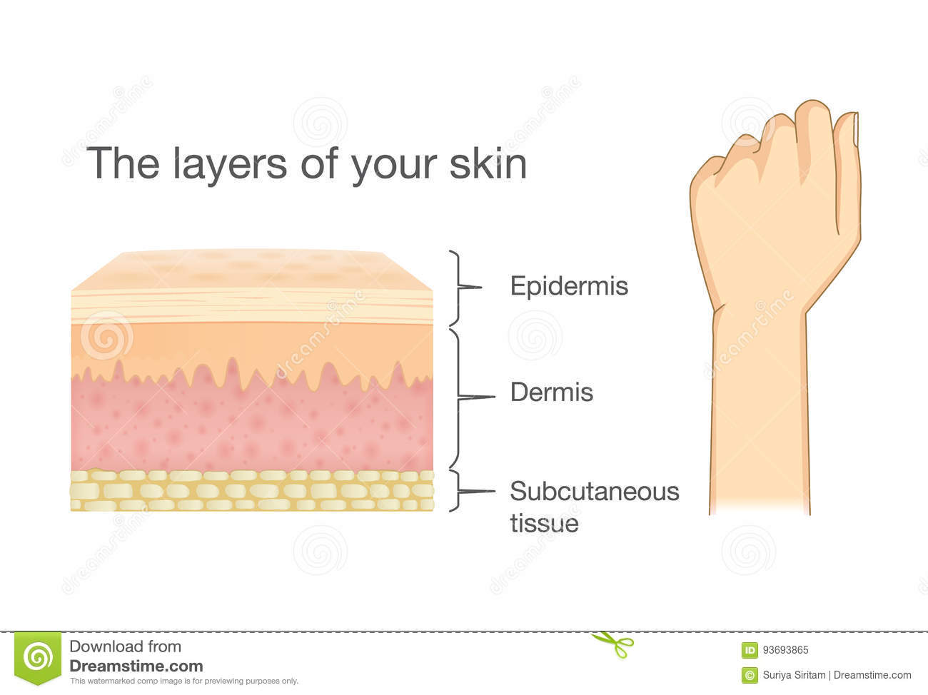 Anatomy Of Human Skin Layer And Arm. Stock Vector - Illustration of ...