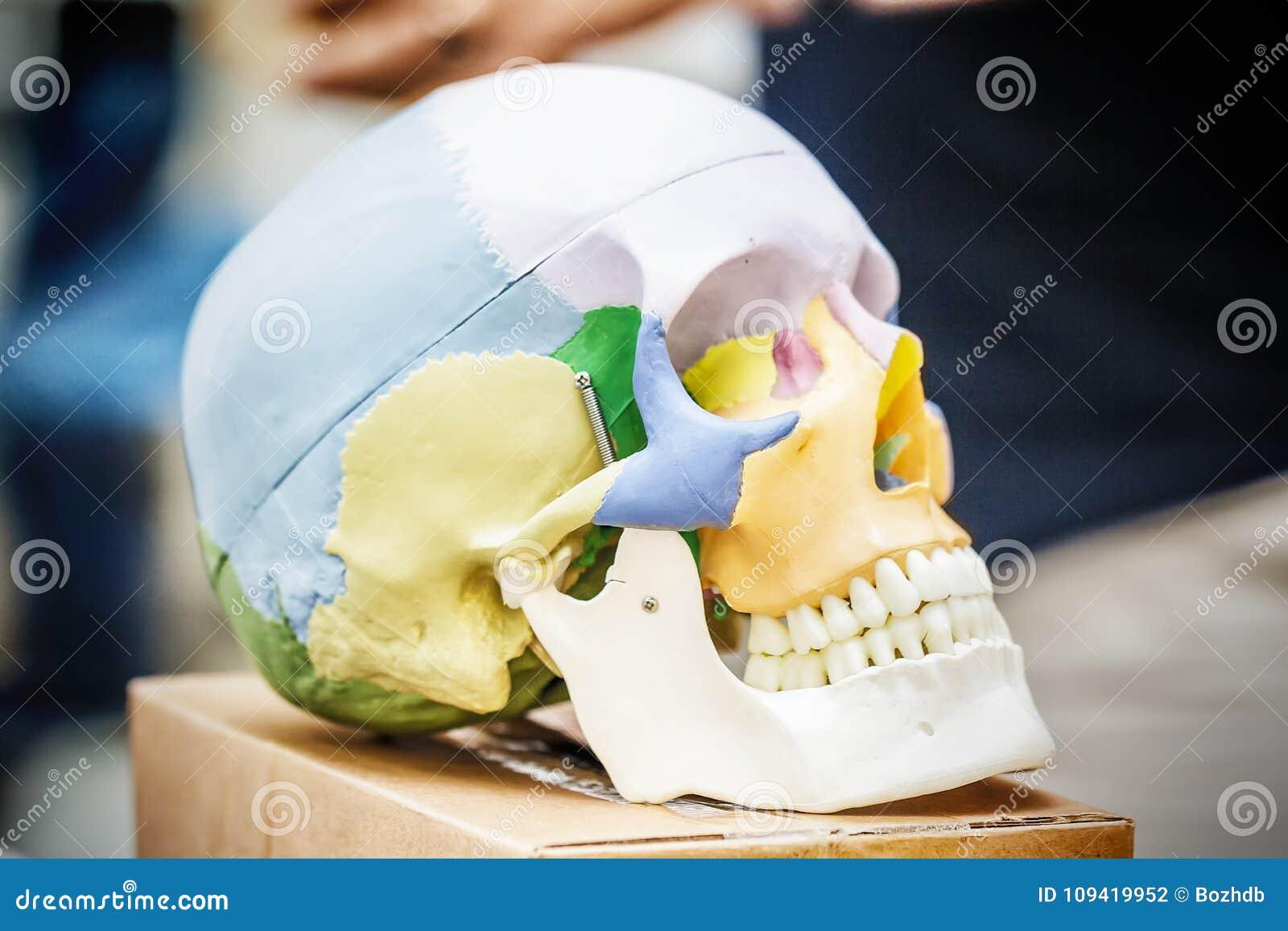 Anatomy human skull model stock photo. Image of biological - 109419952