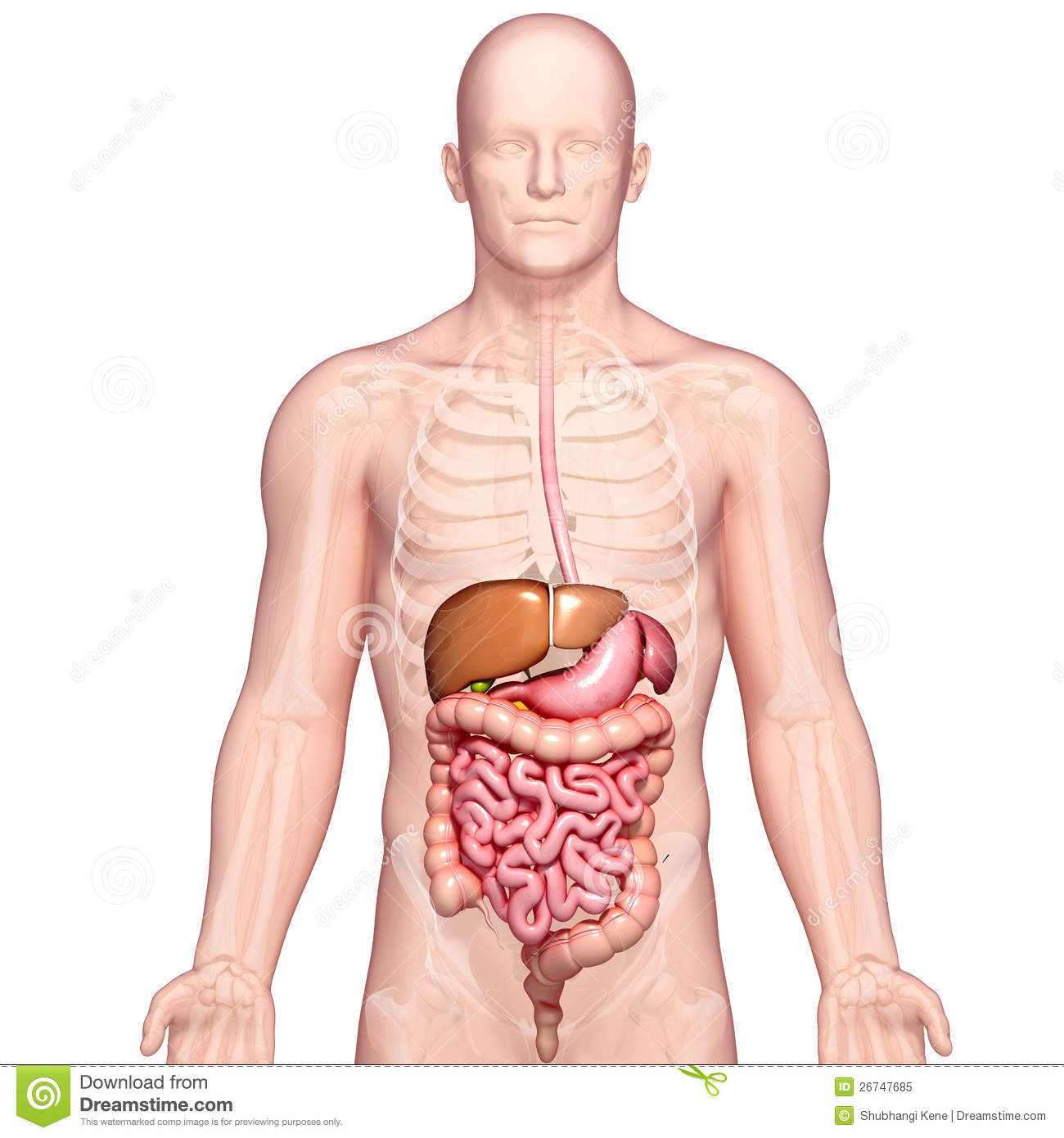 Anatomy Of Human Stomach And Liver Stock Illustration - Illustration ...