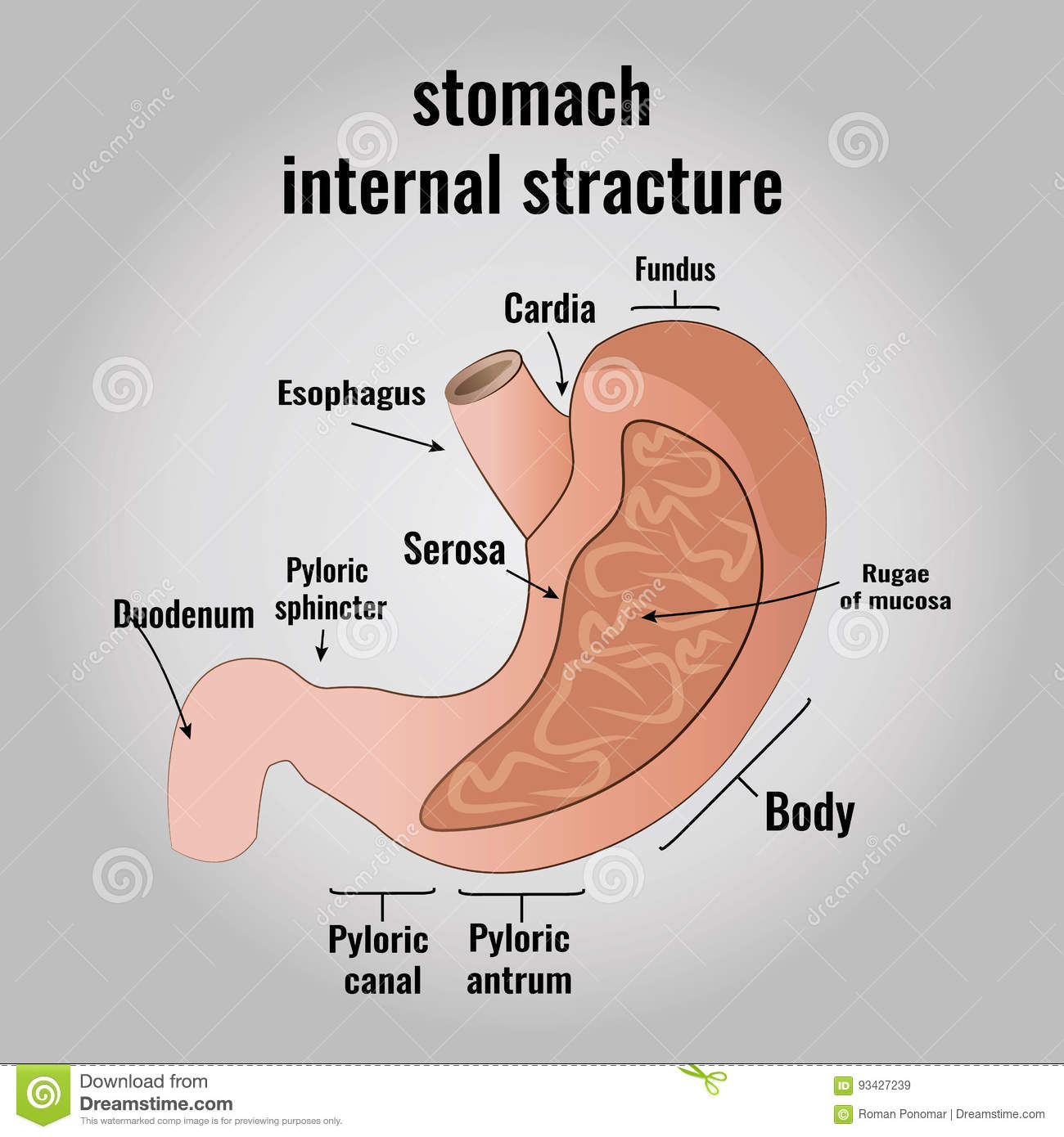 The Anatomy Of The Human Stomach Stock Vector Illustration Of