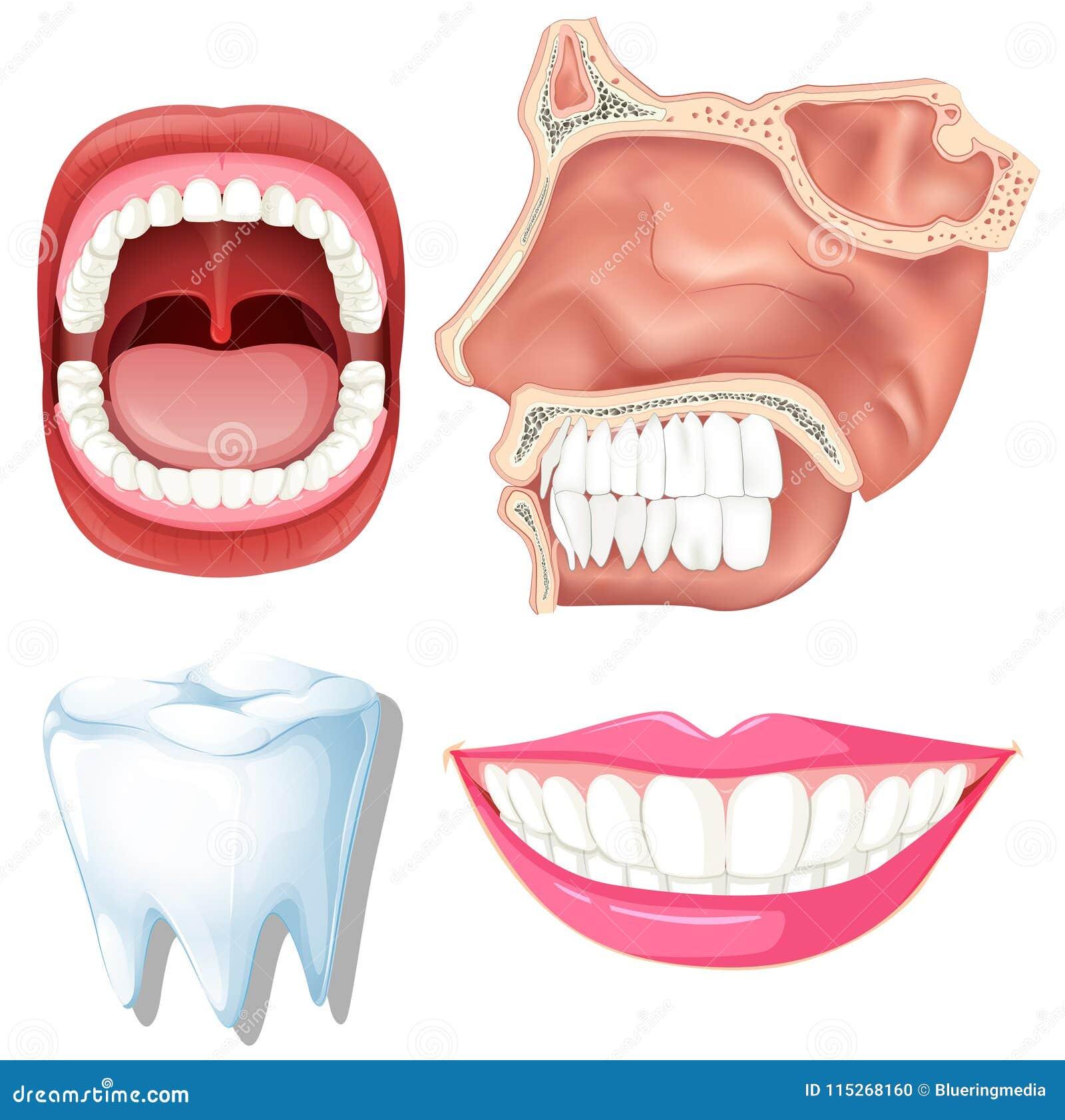 Anatomy Of Human Teeth Stock Vector Illustration Of Drawing 115268160