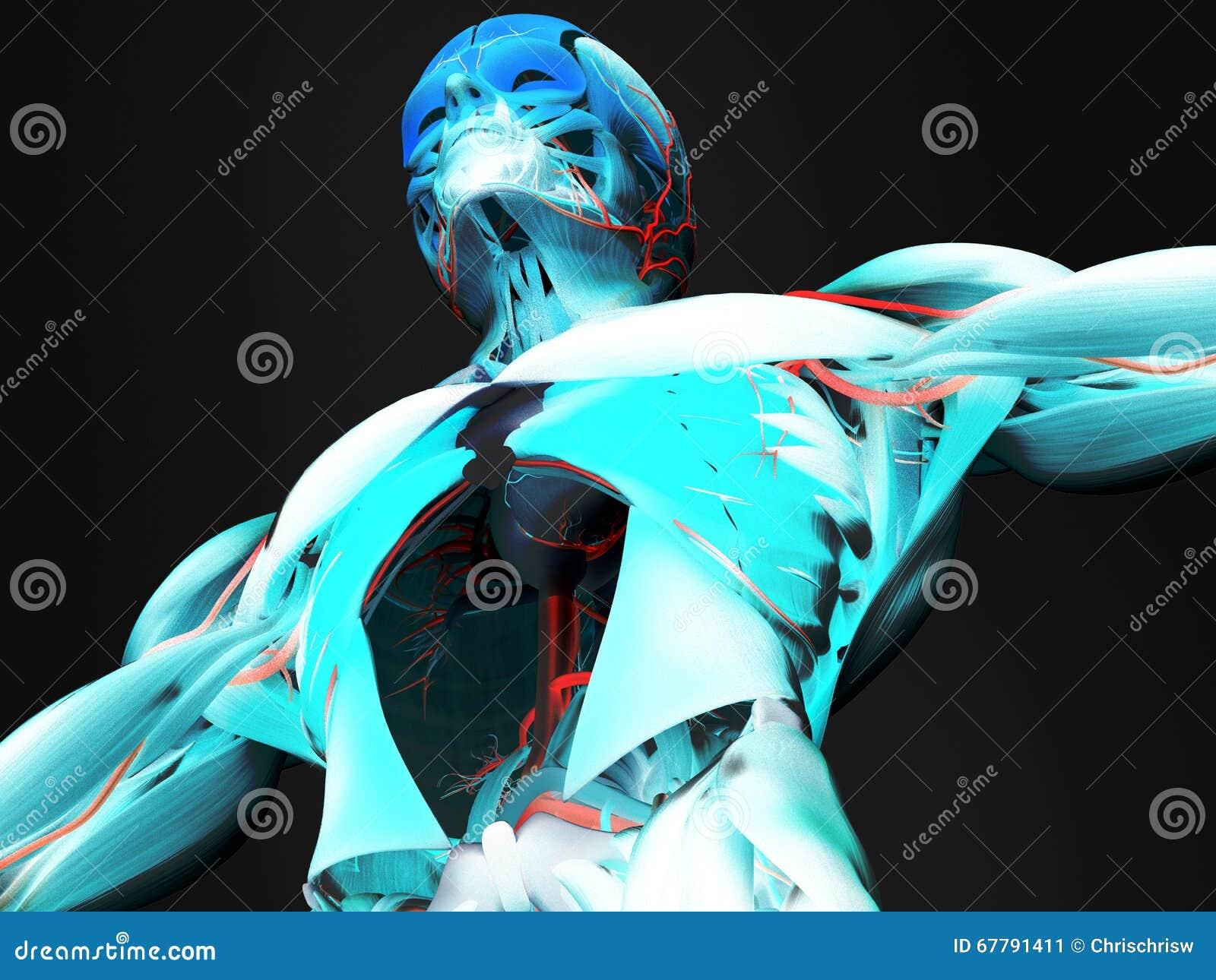Anatomy Of Human Torso Stock Illustration Part Diagram