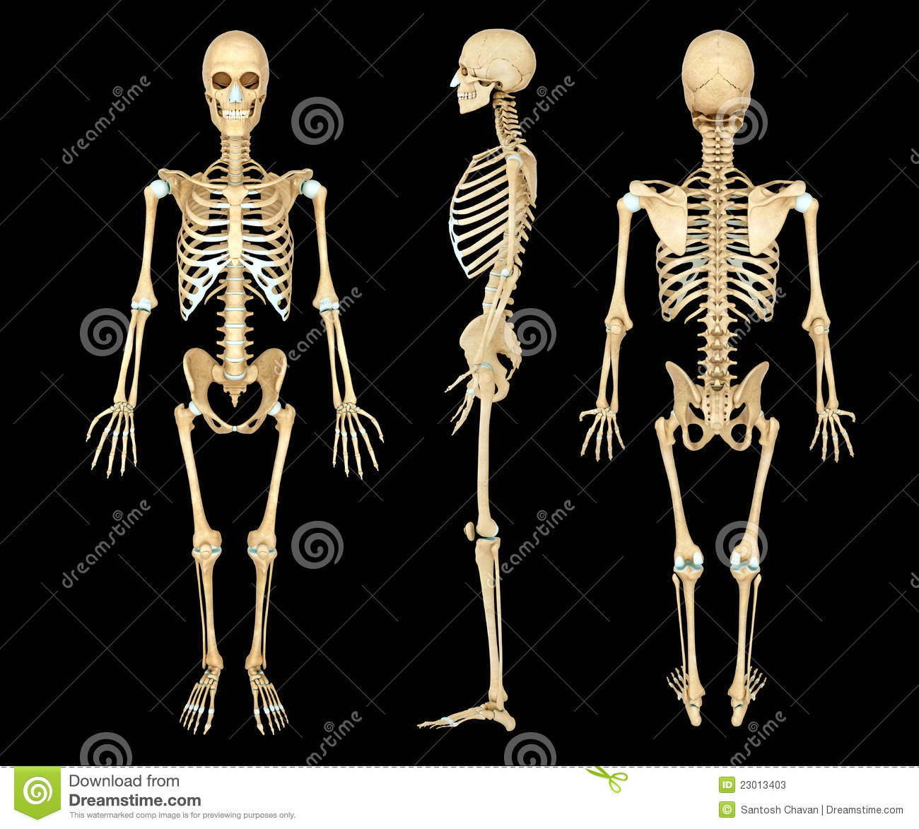 Stock Photos: Anatomy illustration of a human skeleton ...
