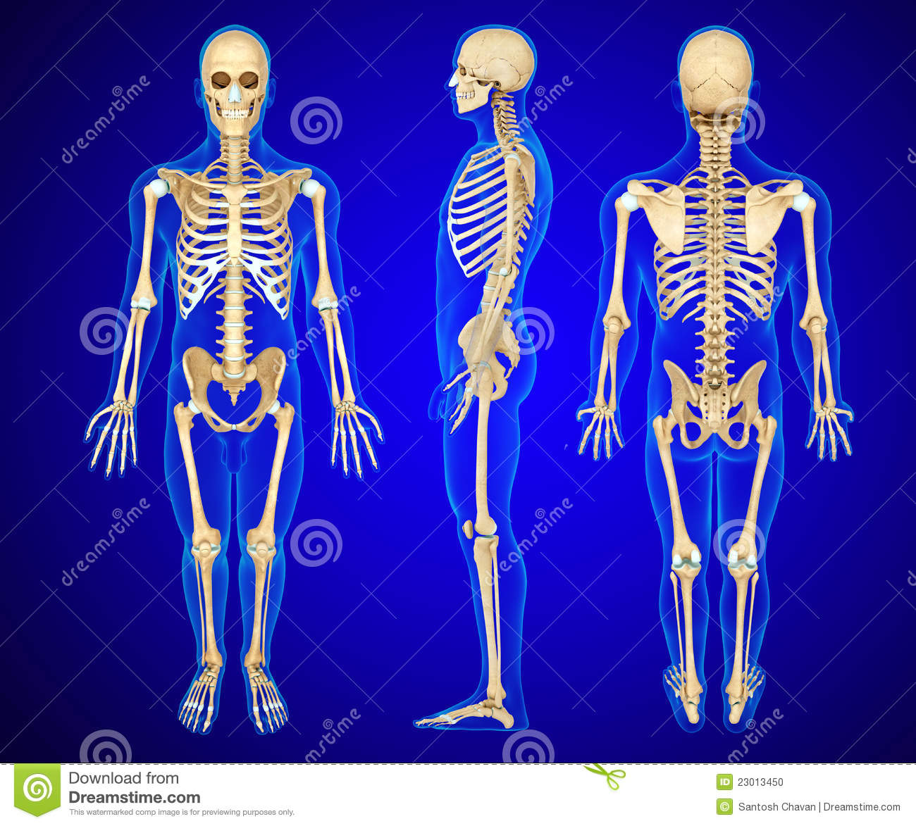 Stock Photo: Anatomy illustration of a human skeleton. Image: 23013450