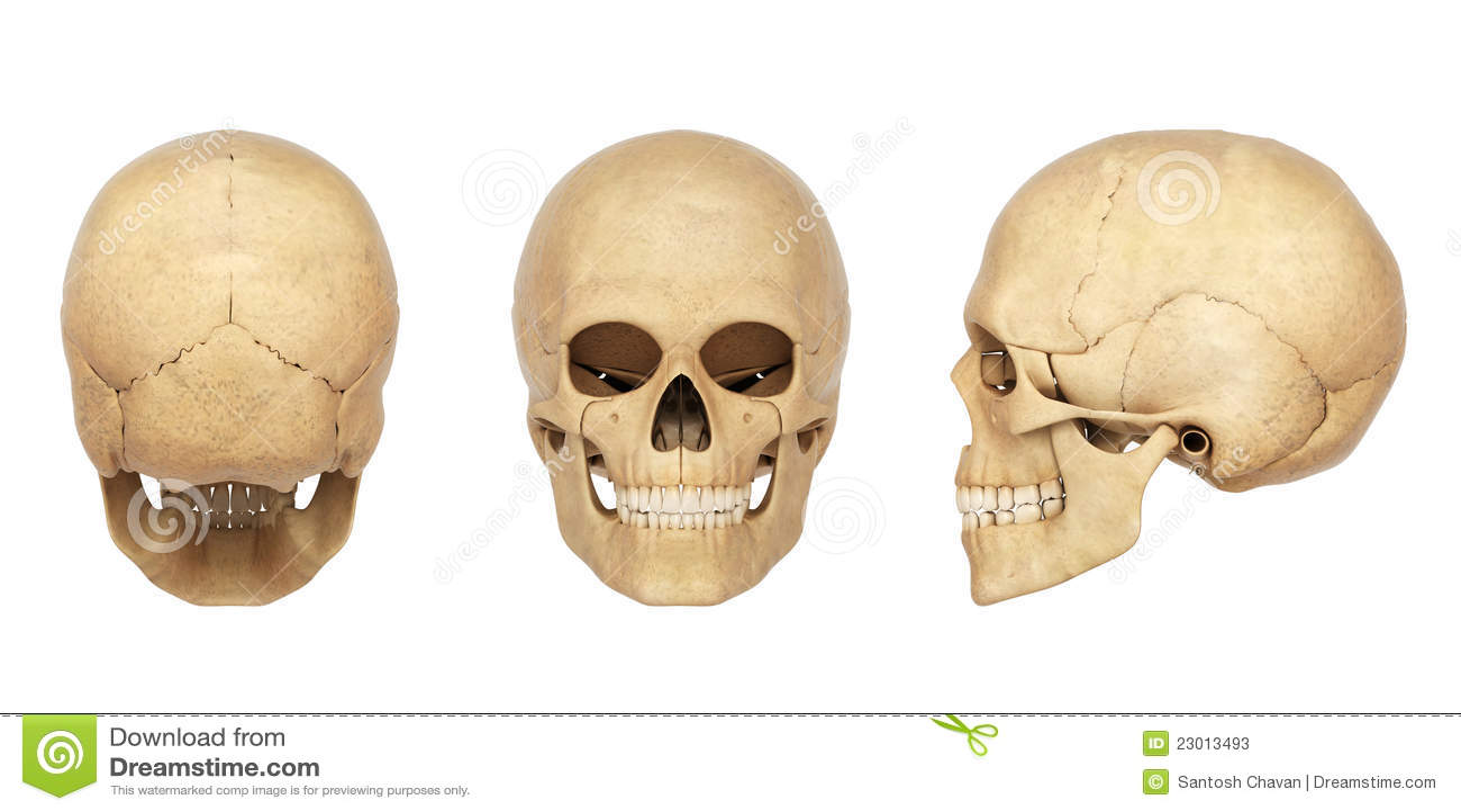 Skull Anatomy Hd Wallpapers Plus