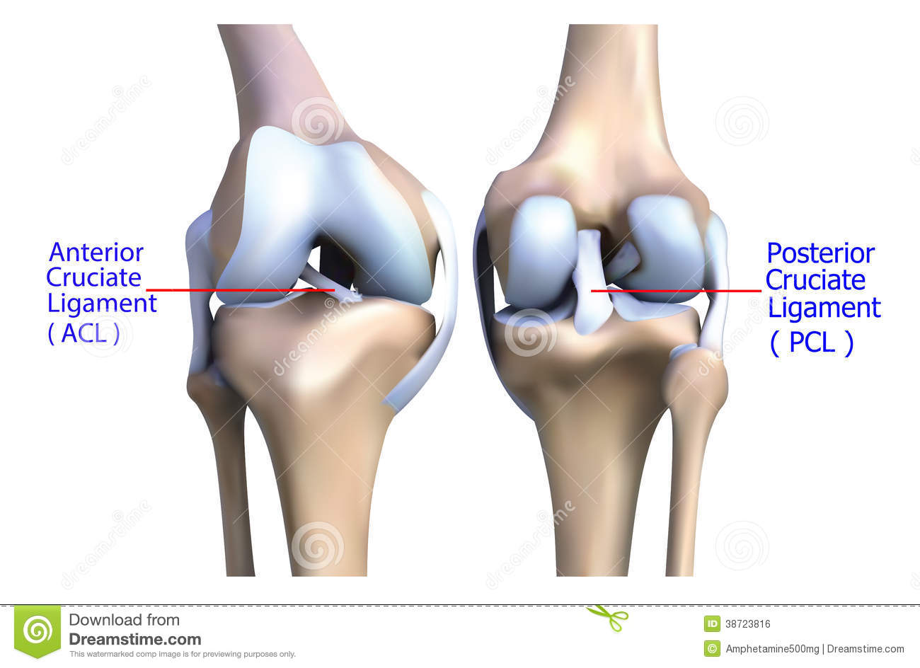 Anatomy Of The Knee Bone And Ligament Stock Illustration ...