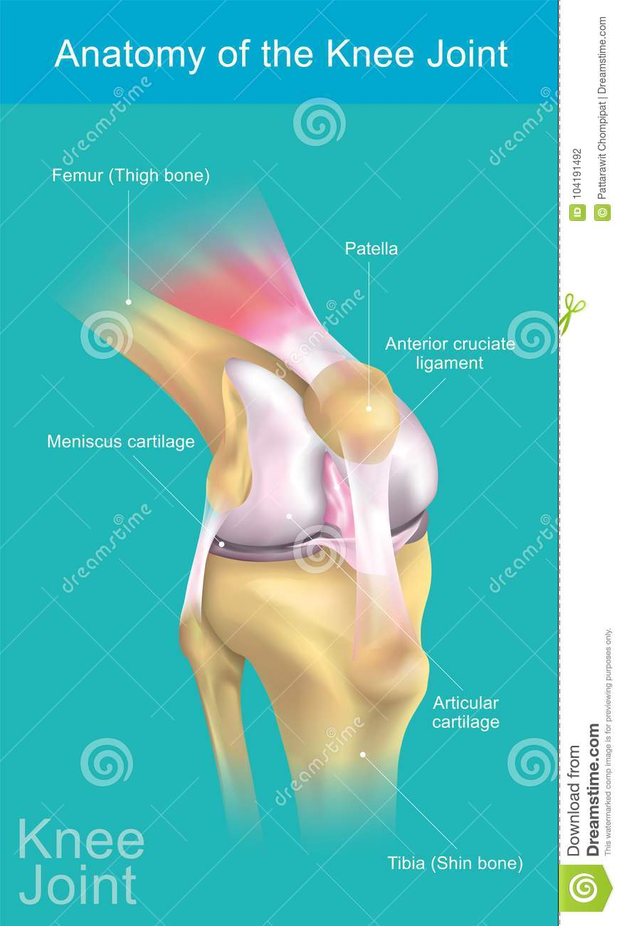 Anatomy of the Knee Joint. stock vector. Illustration of cartilage ...