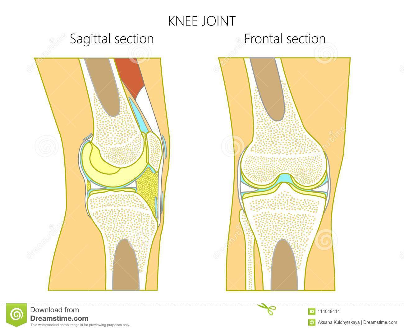 vector illustration  anatomy of a healthy knee joint, sagittal and frontal  section of the knee  for advertising and medical publications  eps 10
