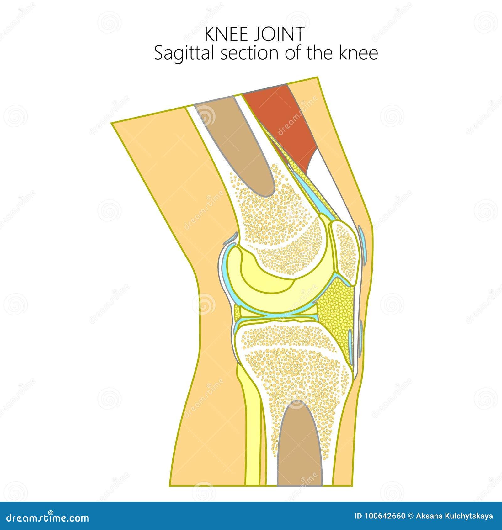 Anatomy Of The Kneesagittal Section Stock Vector Illustration Of