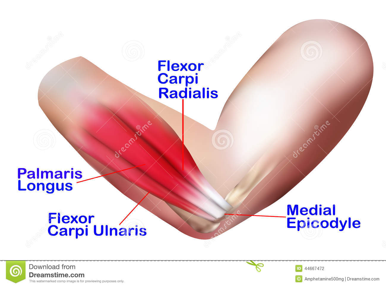 Anatomy Of The Lateral Elbow Stock Illustration - Illustration of ...