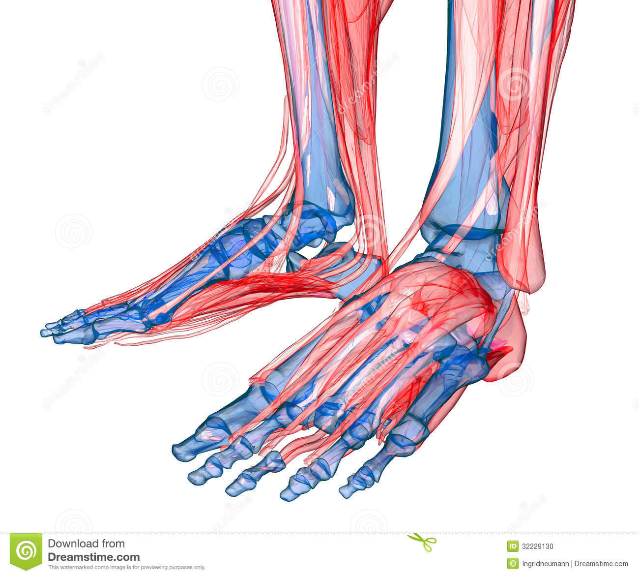 Anatomy Of Leg And Foot Stock Illustration Illustration Of Knee