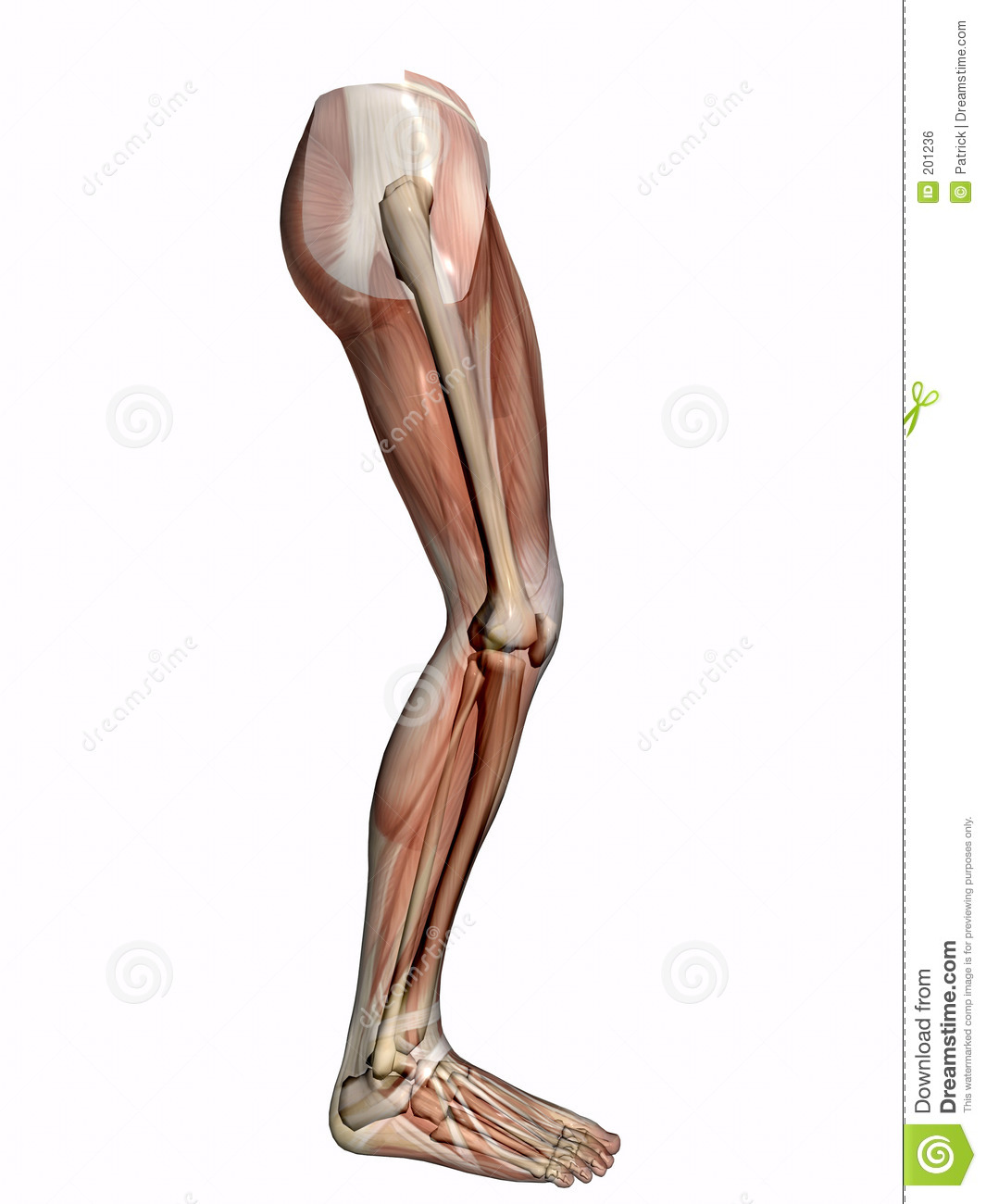 Anatomy leg skeleton transparent