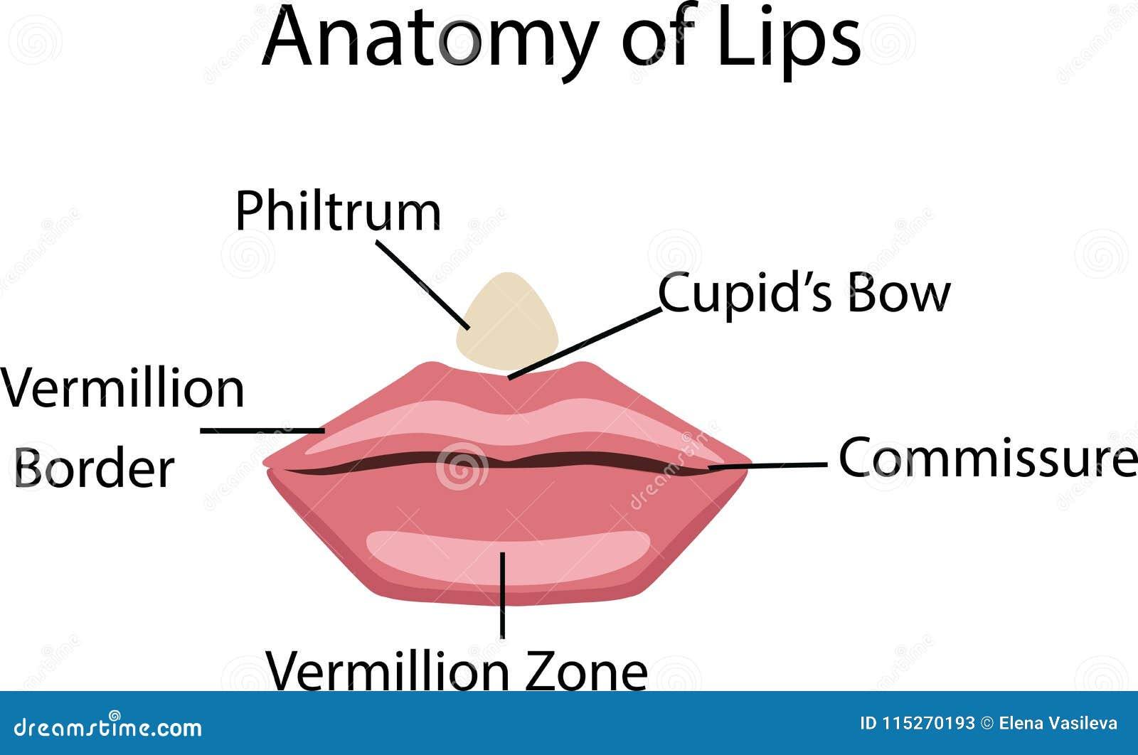 Anatomy Of Lips, Vector Illustration Stock Vector - Illustration of ...