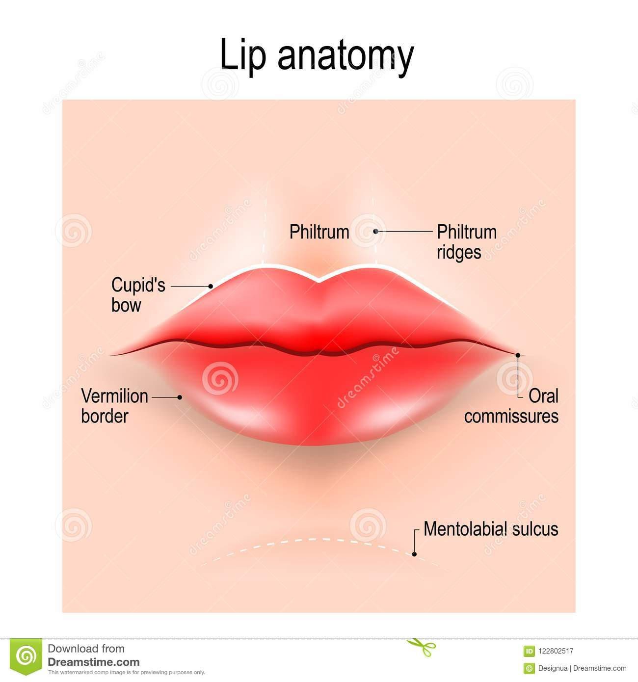 Anatomy Of Lips Stock Vector Illustration Of Design 122802517