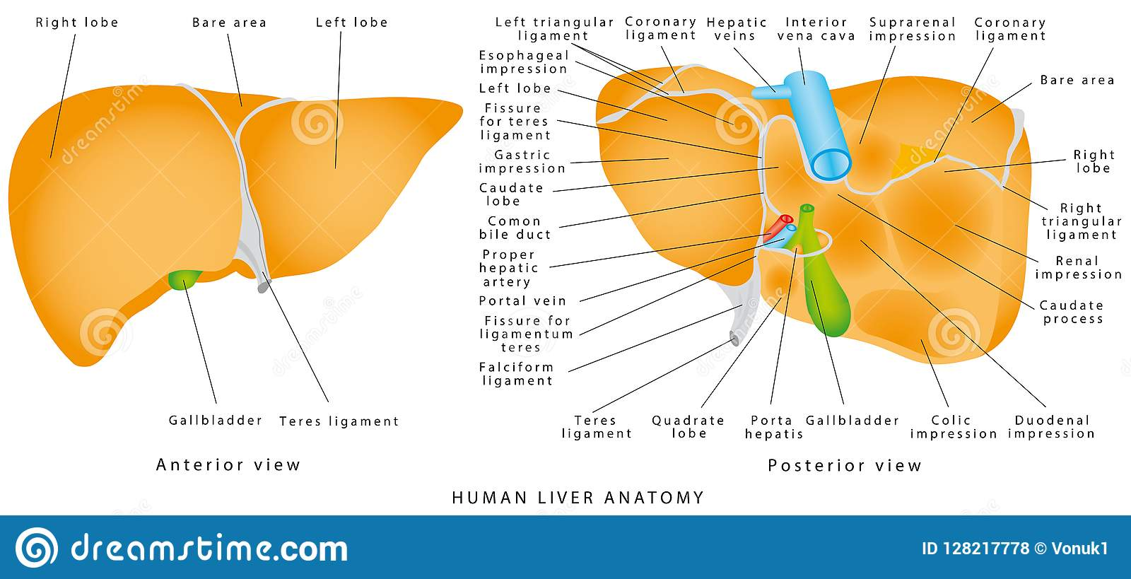 Anatomy Of The Liver Stock Vector Illustration Of Gall 128217778