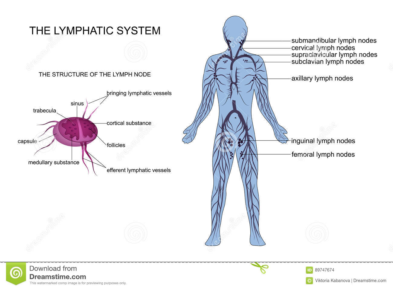 Anatomy Of The Lymphatic System Stock Photo Image Of Head