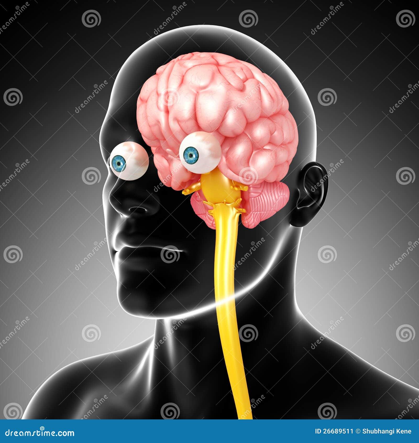 Anatomy Of Male Brain And Medulla Oblongata Stock Illustration