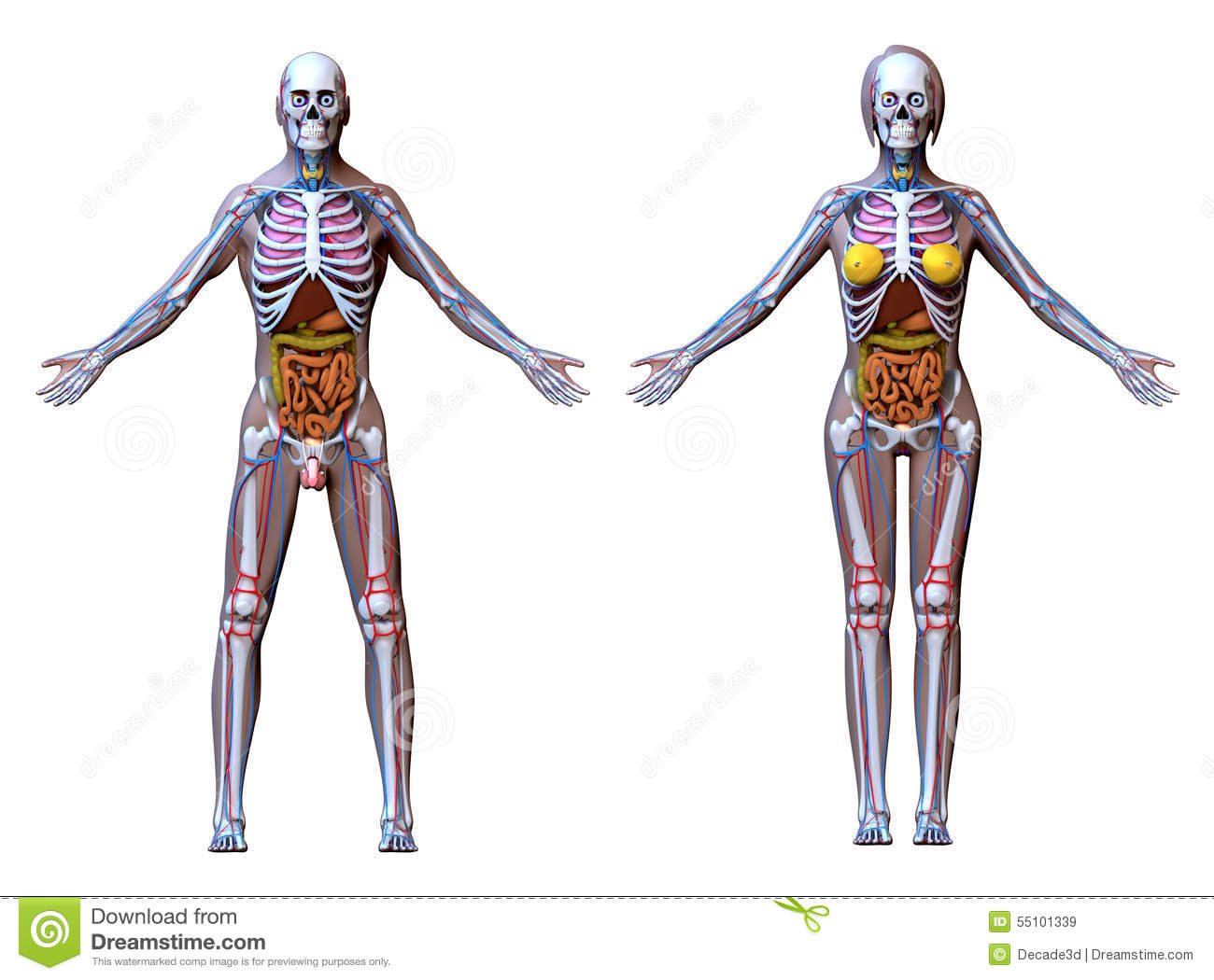 Circulatory System Of Full Body Royalty-Free Illustration ...