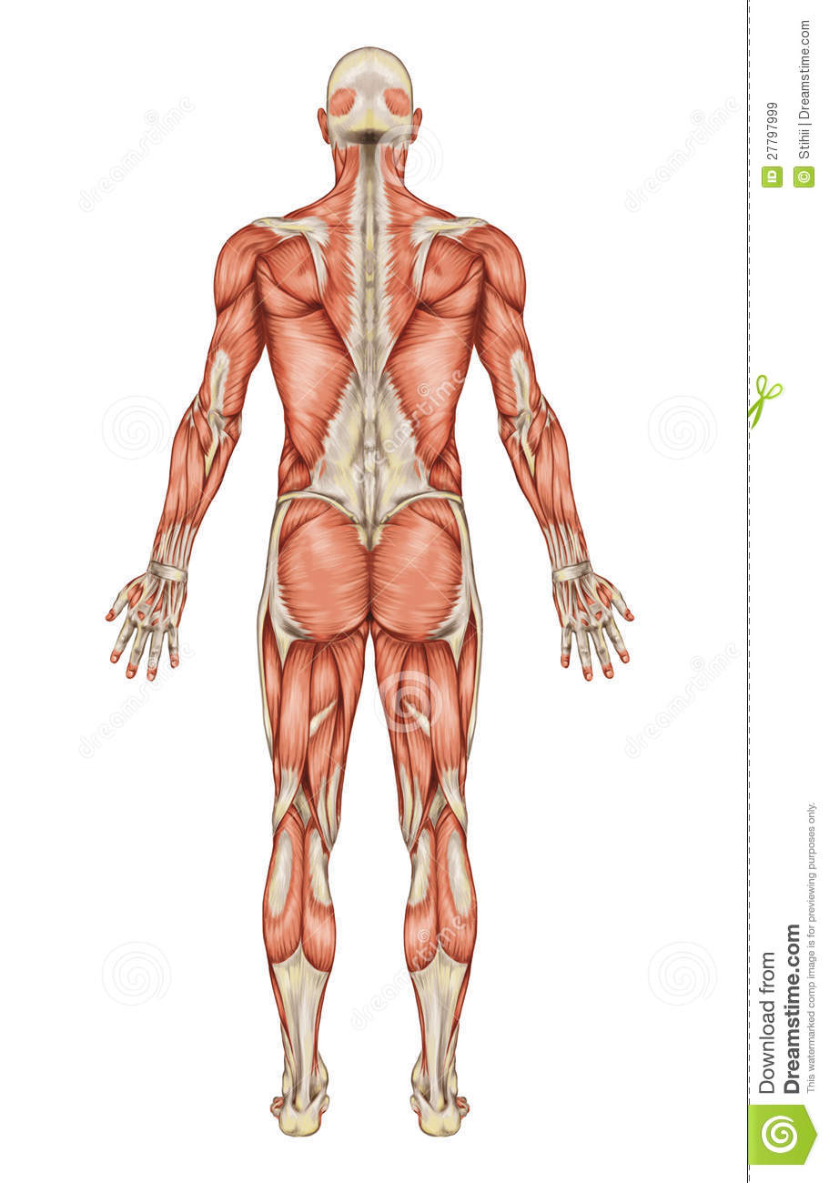 Anatomy Of Male Muscular System Stock Illustration - Illustration of ...