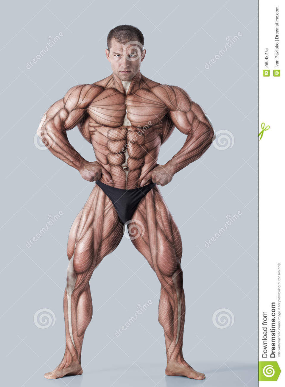 Anatomy Of Male Muscular System Stock Image - Image of abdominus ...