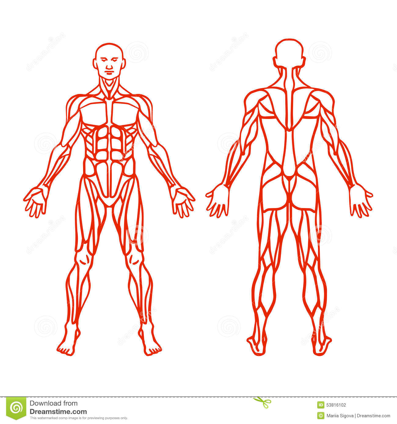Anatomy Of Male Muscular System Exercise And Muscle Guide Stock