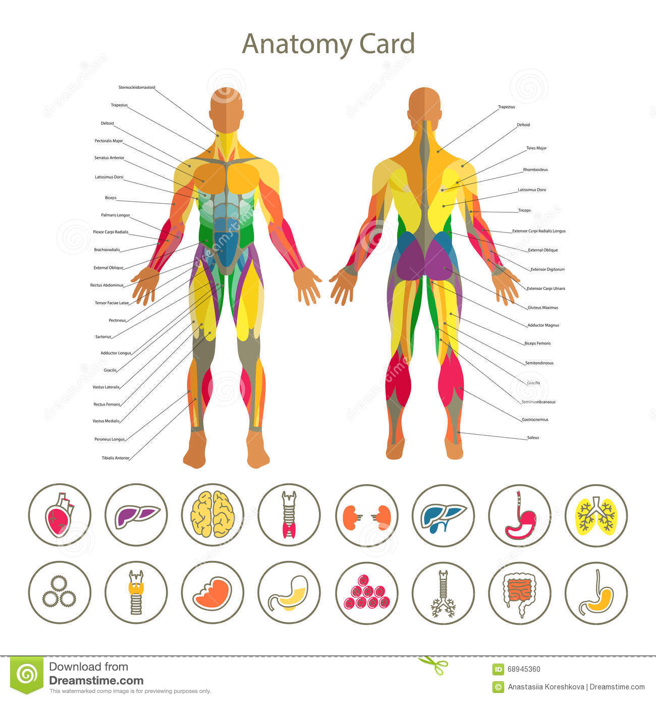 Anatomy Of Male Muscular System Front And Rear View Medical Human