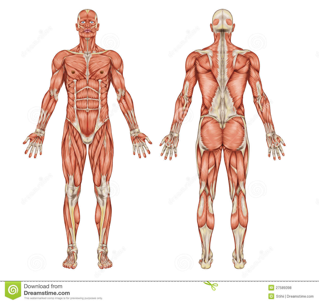 Anatomy Of Male Muscular System Posterior And An Stock