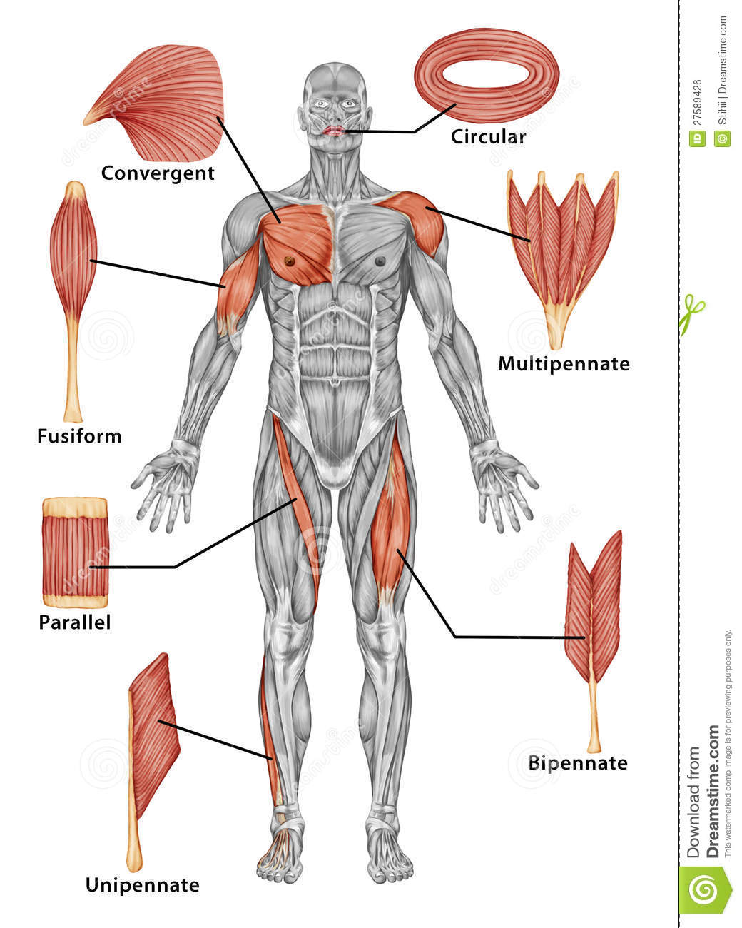 Anatomy Of Male Muscular System Posterior View O Stock