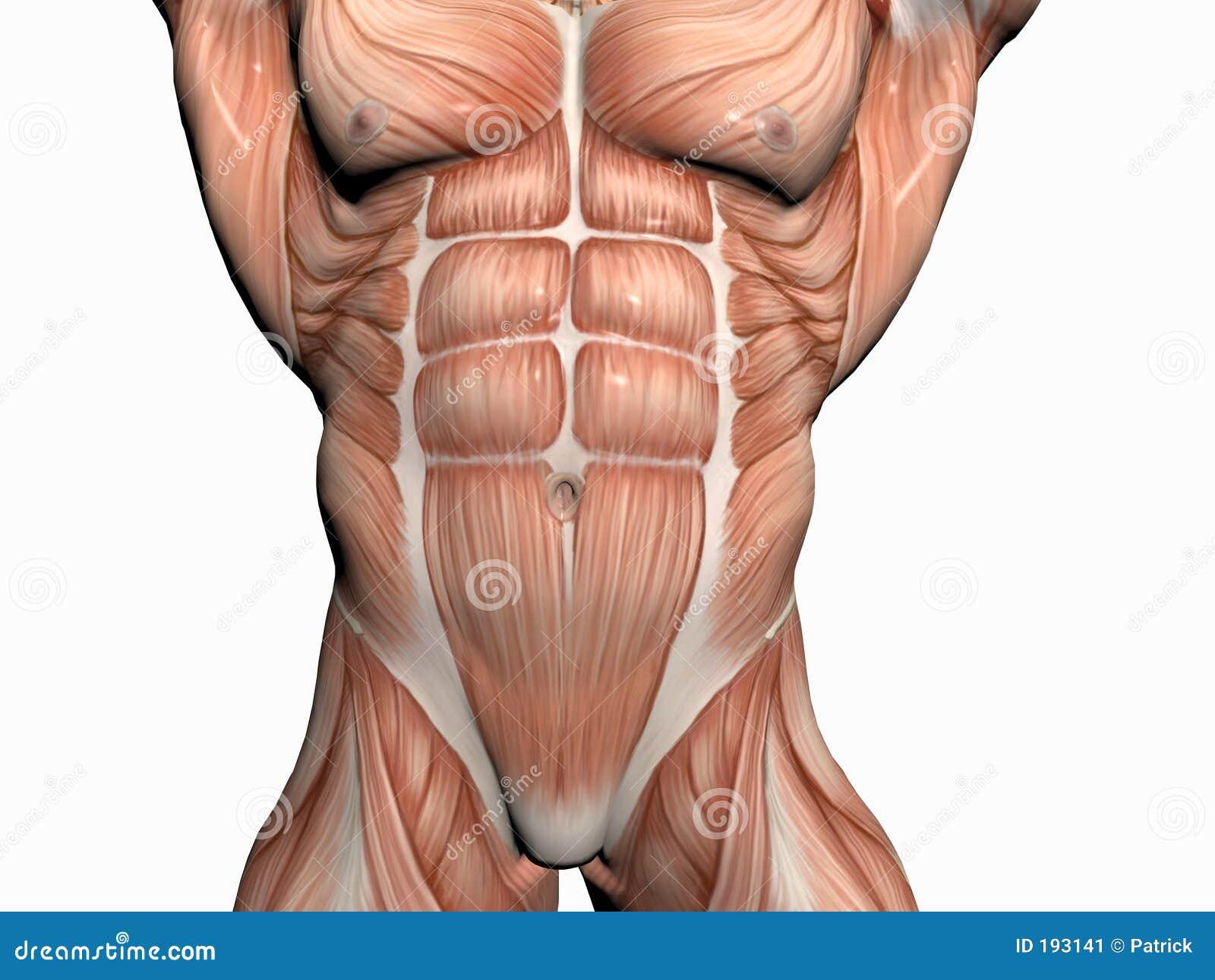 Anatomy Of The Man Body Builder Stock Illustration Illustration