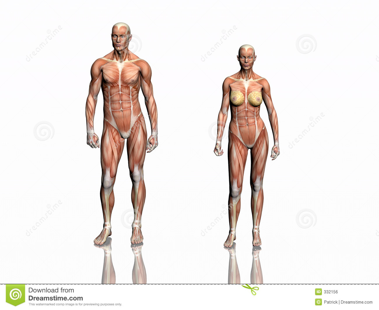 Anatomy Of Man And Woman Stock Illustration Illustration Of Muscle