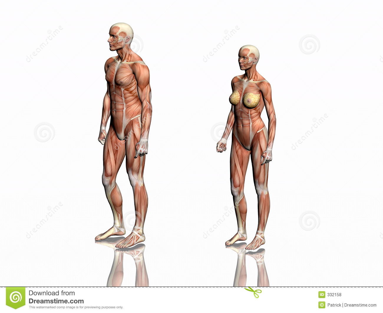 Anatomy of man and woman. stock illustration. Illustration of ...