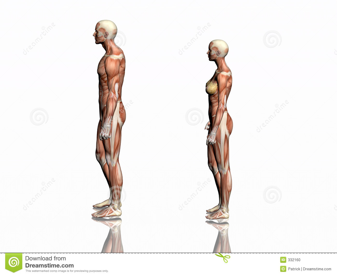Anatomy of man and woman. stock illustration. Illustration of chest ...