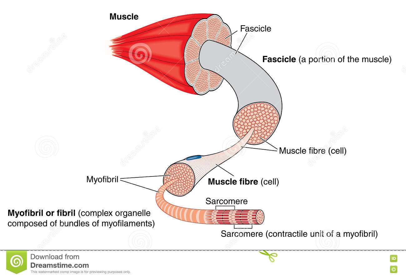 Anatomy of a muscle stock vector. Illustration of illustration ...