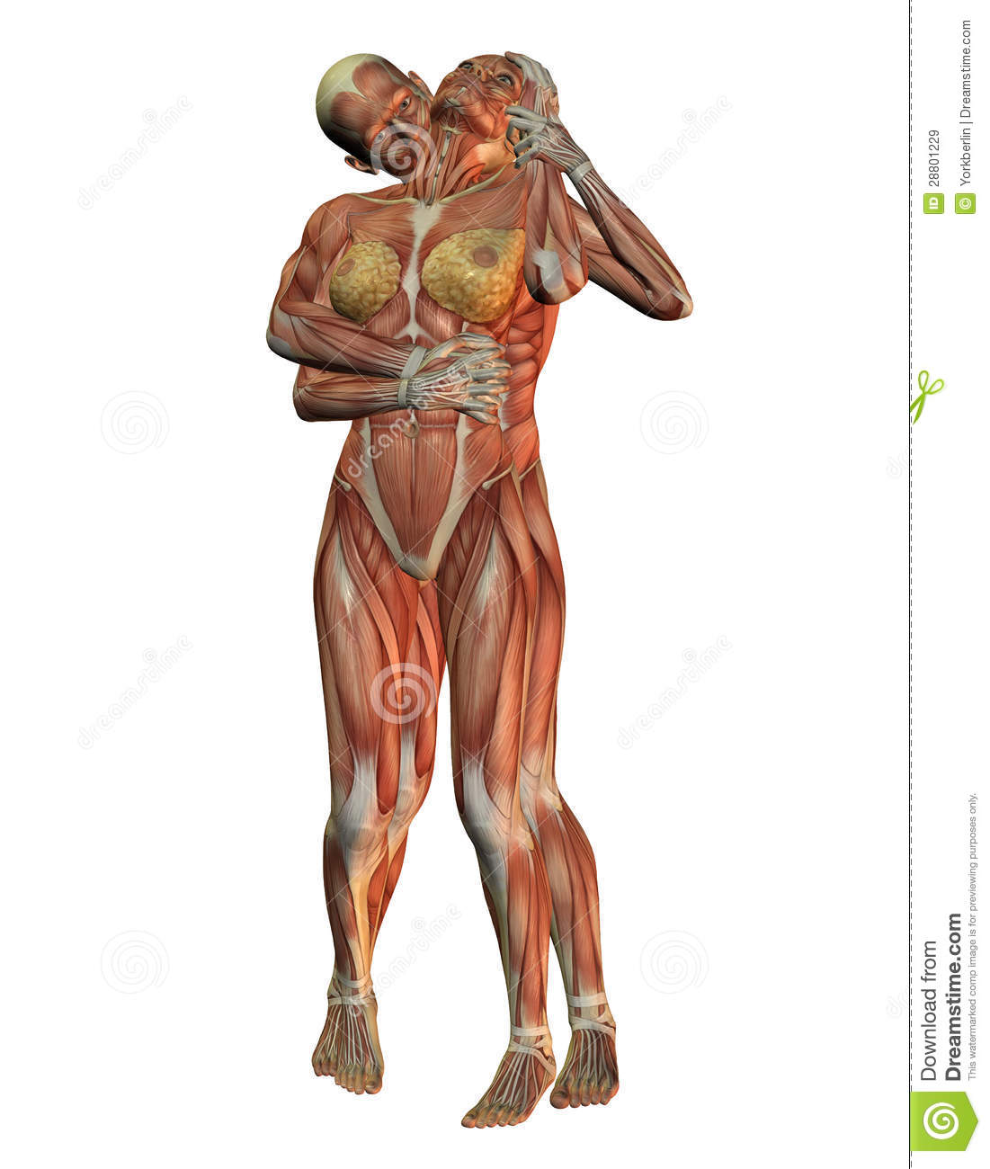 Anatomy And Muscle Structure Stock Illustration Illustration Of