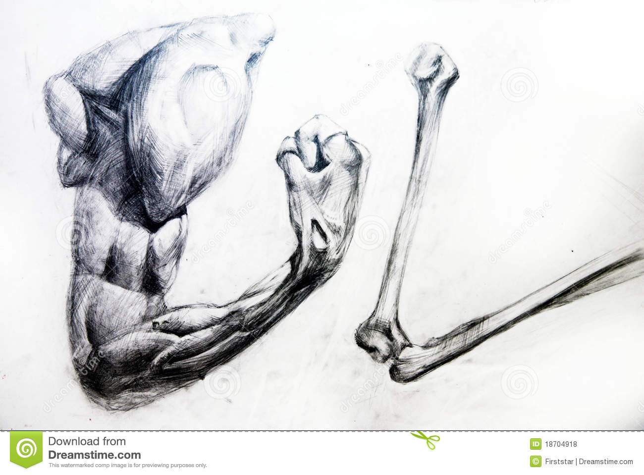 Anatomy Muscles.Drawing Studio Works Stock Illustration ...