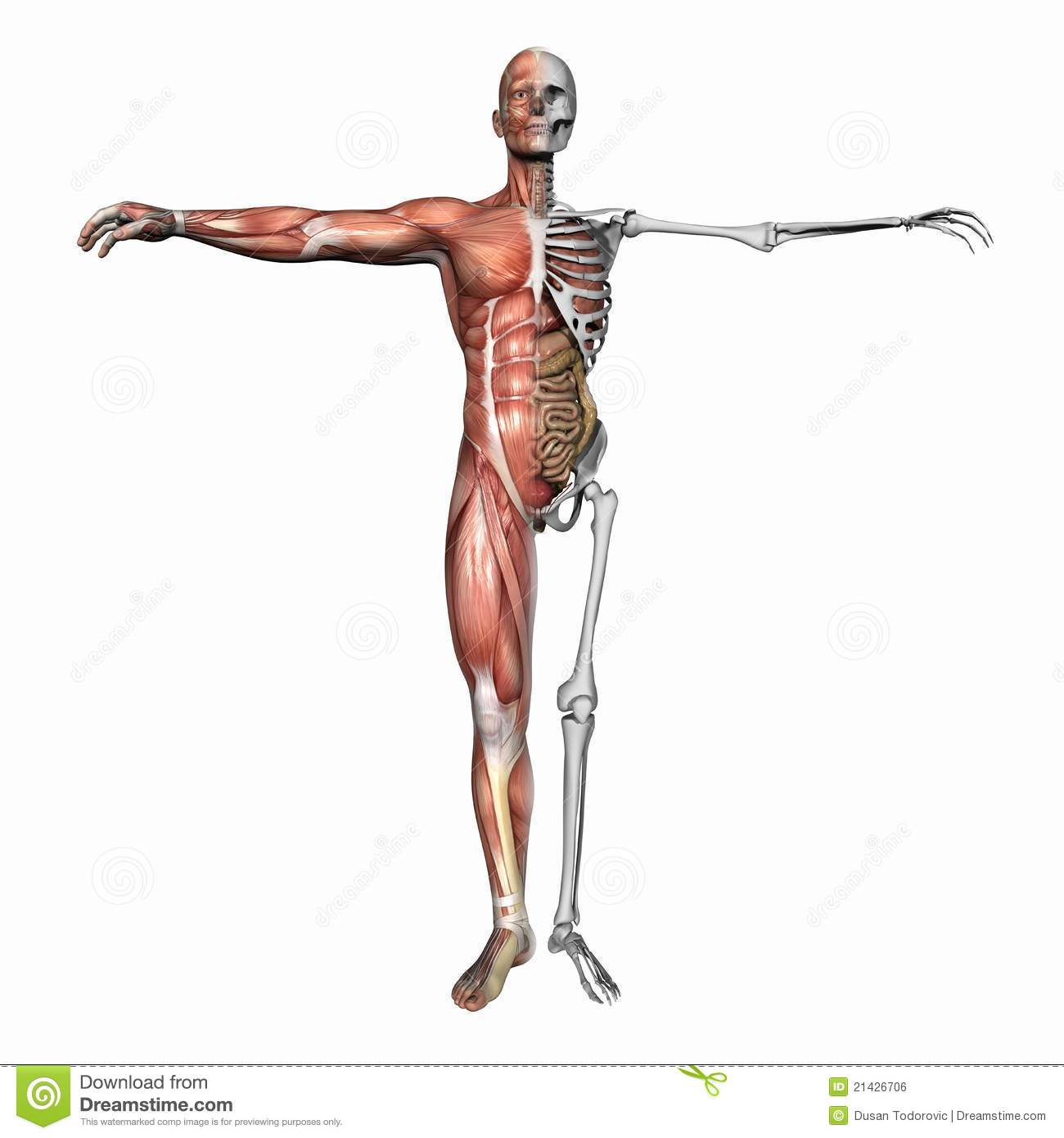 Anatomy, Muscles And Skeleton Stock Illustration - Illustration of ...