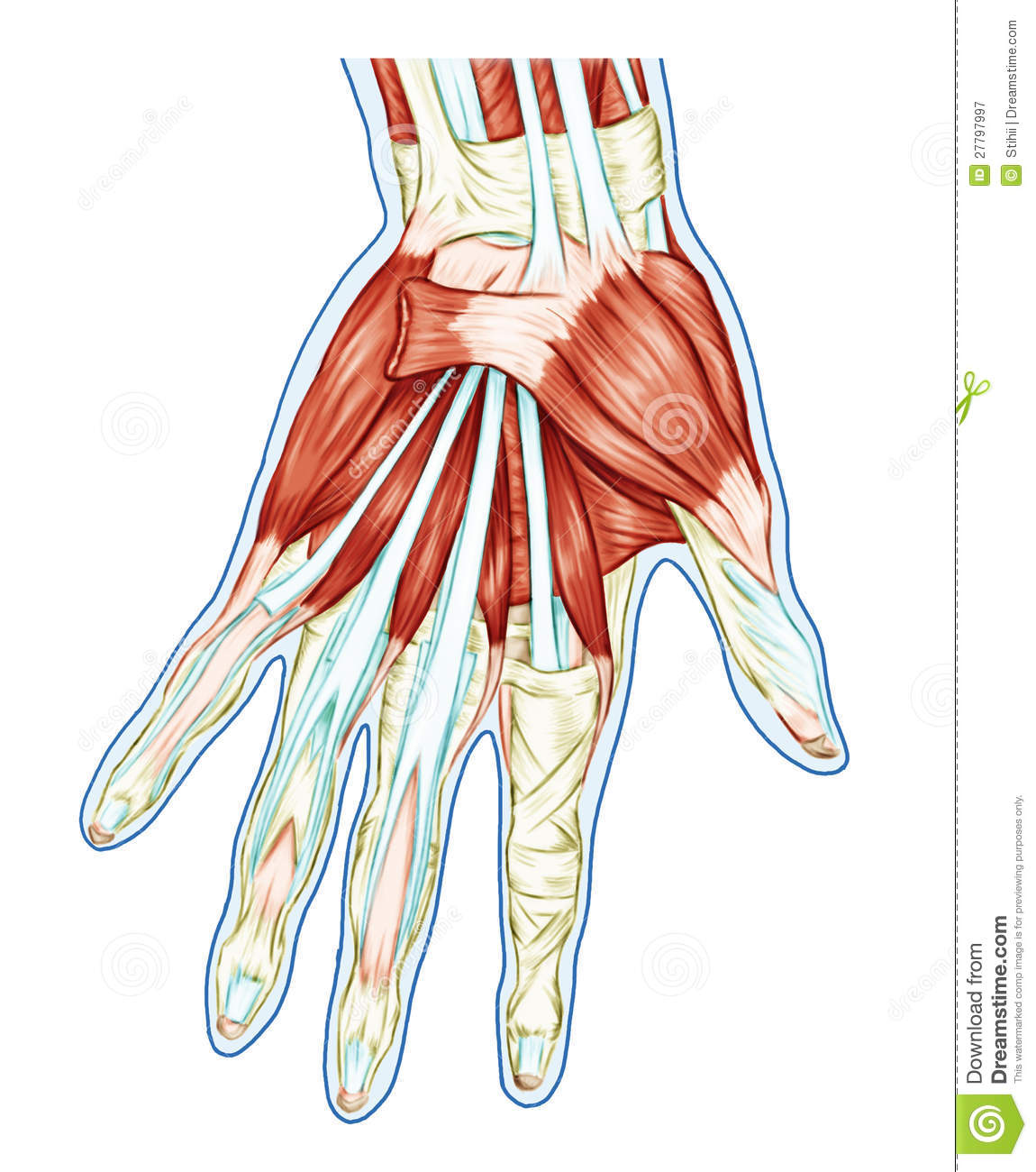 Anatomy of muscular system stock illustration. Illustration of ...
