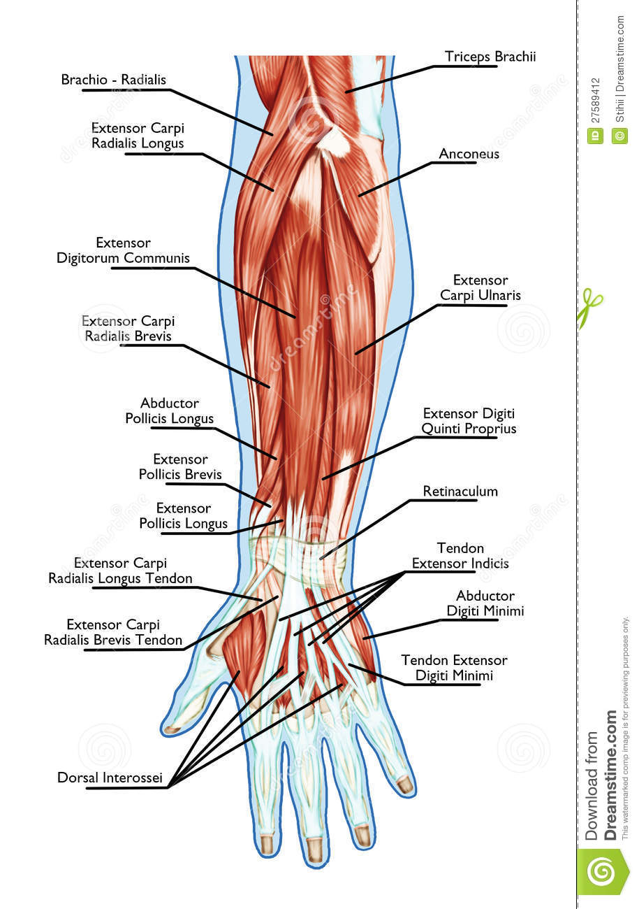 Anatomy Of Muscular System Hand Forearm Palm M Stock