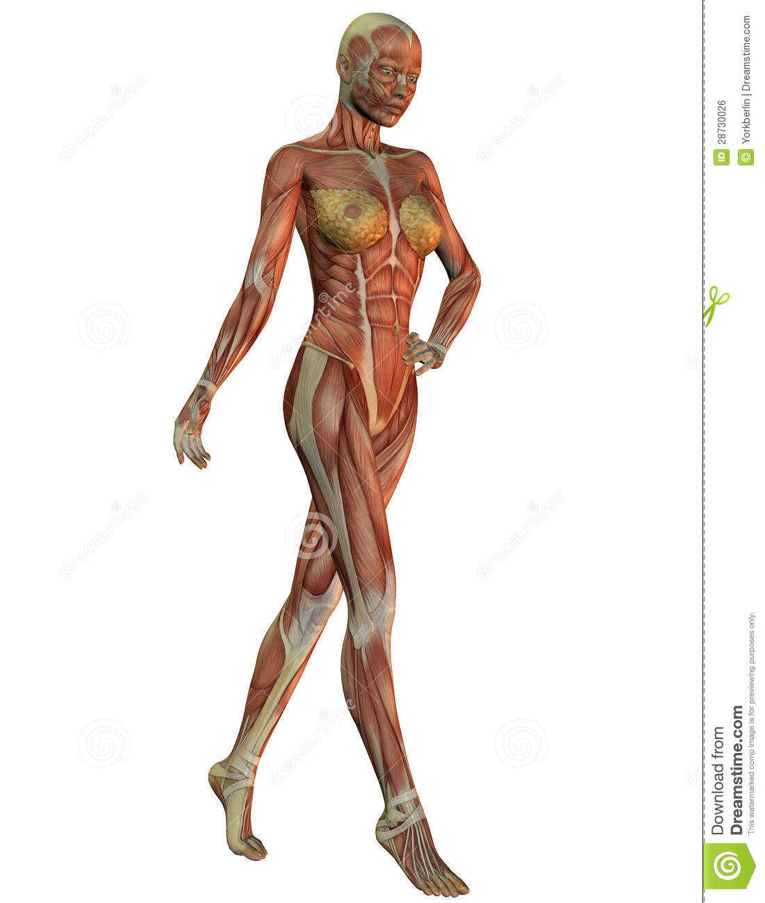 Anatomy And Musculature Of Women In Running Stock Illustration