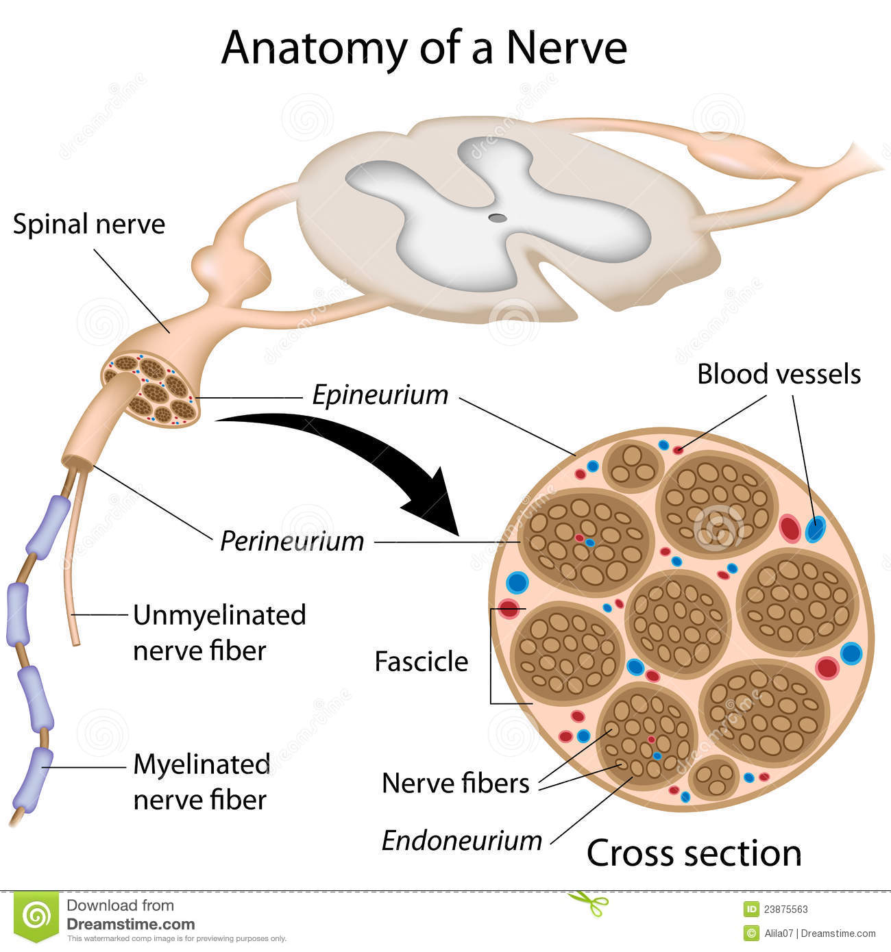 Anatomy Of A Nerve Stock Vector Illustration Of Cell 23875563