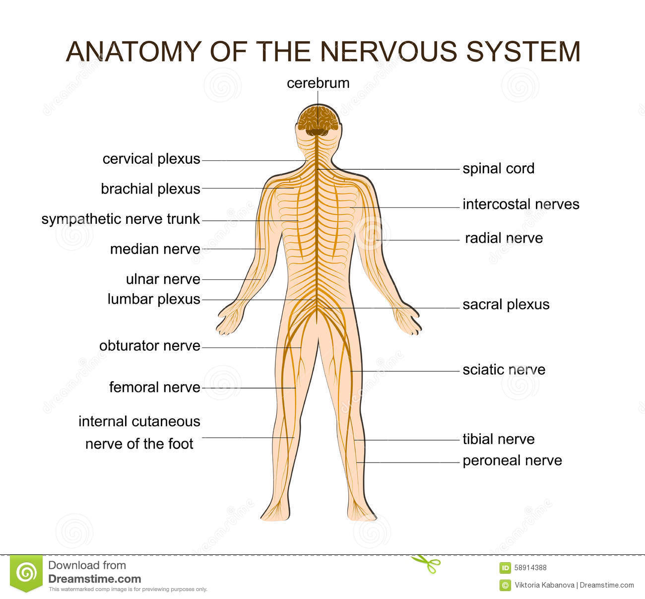 ANATOMY OF THE NERVOUS SYSTEM Stock Vector - Illustration of ...