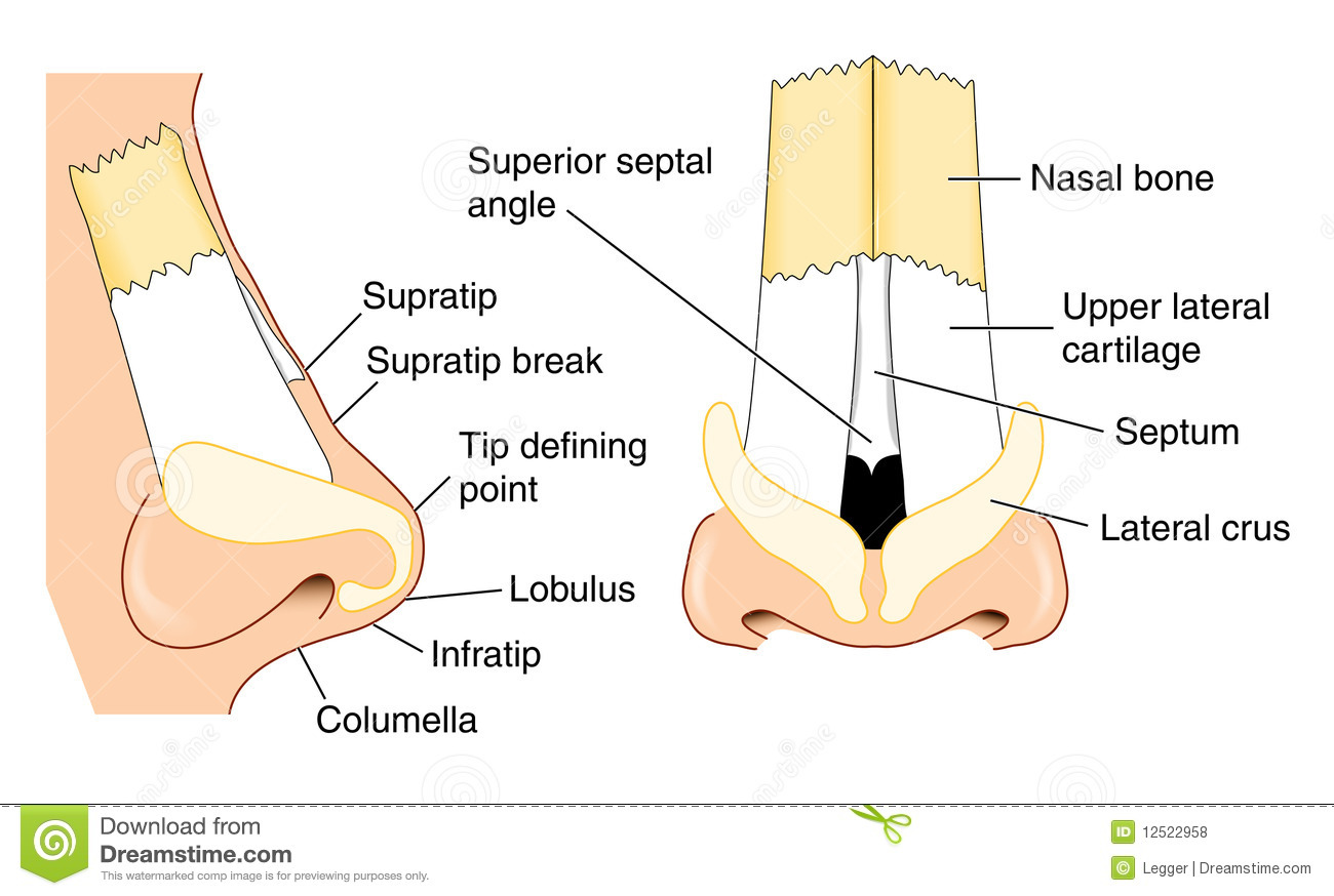 Front and side views of the nose showing major structural features.
